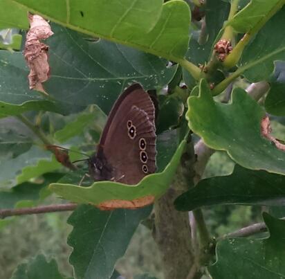 Image madwblog. Ringlet butterfly.